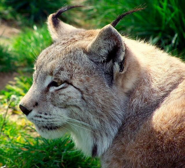 animales-peligro-extincion-extremadura-lince-iberico